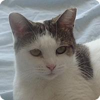 Adopt A Pet :: CuddlyKittyCutie BumbleBee - New York, NY