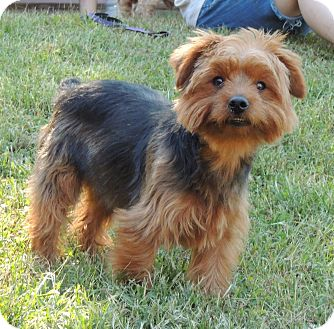yorkie rescue missouri joplin mo yorkie yorkshire terrier meet rusty a dog 3383