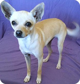 Toy Fox Terrier/Chihuahua Mix Dog for adoption in Phoenix, Arizona - CRACKLIN ROSIE