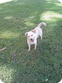 Corgi/Labrador Retriever Mix Dog for adoption in Rayville, Louisiana - Cindy Lou