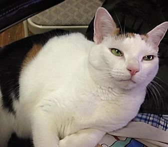 Calico Cat for adoption in Brooklyn, New York - Rosie the lovely lap cat!