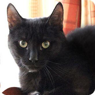 Domestic Mediumhair Cat for adoption in Verdun, Quebec - Fiston