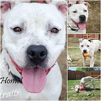 Dogo Argentino/Boxer Mix Dog for adoption in Birmingham, Alabama - Sadie