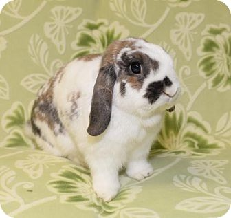 Lop, Holland for adoption in Chesterfield, Missouri - Grover