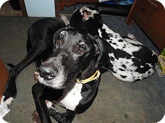Great Dane Dog for adoption in Minneapolis, Minnesota - Baron 06/27/16