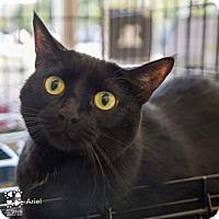 Adopt A Pet :: Ariel - Merrifield, VA