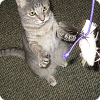 American Shorthair Cat for adoption in Sioux Falls, South Dakota - Thunder