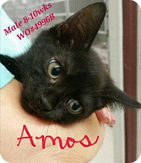 Domestic Shorthair Cat for adoption in Fayetteville, West Virginia - Amos