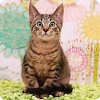Domestic Shorthair Kitten for adoption in Sterling Heights, Michigan - Herbert