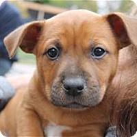 Adopt A Pet :: Pooh Bear - Pleasanton, CA