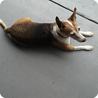 Jack Russell Terrier Mix Dog for adoption in Pembroke Lakes, Florida - Missy