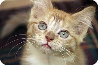 Domestic Shorthair Kitten for adoption in Verona, Wisconsin - Freya