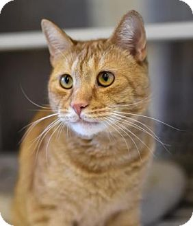 Domestic Shorthair Cat for adoption in Reisterstown, Maryland - Tigger