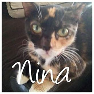 Domestic Shorthair Cat for adoption in Brandon, Florida - Nina