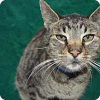 Domestic Shorthair Cat for adoption in Monroe, Michigan - Khan