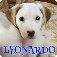 Labrador Retriever/Hound (Unknown Type) Mix Puppy for adoption in Pomfret, Connecticut - LEONARDO