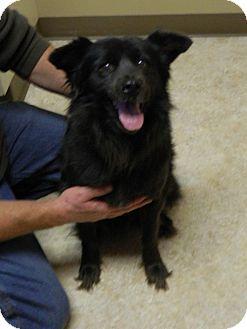 Spitz (Unknown Type, Medium)/Cocker Spaniel Mix Dog for adoption in Troy, Ohio - Tiara