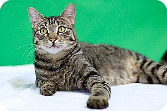 Domestic Shorthair Cat for adoption in Houston, Texas - Marley