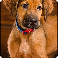 Adopt A Pet :: Chase - Owensboro, KY