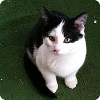 Domestic Mediumhair Kitten for adoption in Cincinnati, Ohio - zz 'Three Kittens' courtesy post