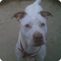 Adopt A Pet :: Star - Kimberton, PA