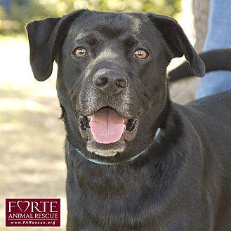 Labrador Retriever Mix Dog for adoption in Marina del Rey, California - Jack Black
