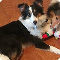 Adopt A Pet :: Lacy (Adoption Pending) - Mission, KS