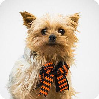 Yorkie, Yorkshire Terrier Dog for adoption in St. Louis Park, Minnesota - Carter