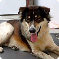 Adopt A Pet :: 'SCAMP' - Agoura Hills, CA