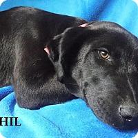 Adopt A Pet :: Phil - Batesville, AR