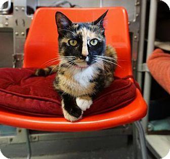 Calico Cat for adoption in Mt Vernon, New York - Olivia 'Silky'