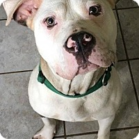 American Pit Bull Terrier Mix Dog for adoption in Kansas City, Missouri - Liberty Bell
