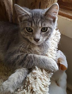 Domestic Shorthair Cat for adoption in Owenboro, Kentucky - LUCKY!