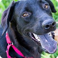 Adopt A Pet :: Abbey - Miami, FL