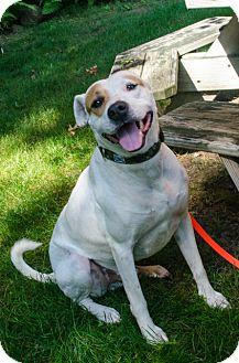 American Bulldog Mix Dog for adoption in Peace Dale, Rhode Island - Maverick