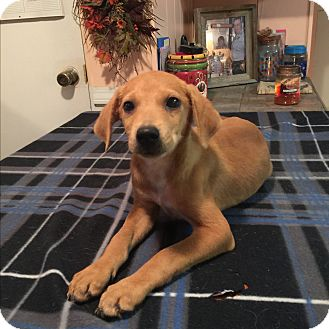 Labrador Retriever/Labrador Retriever Mix Puppy for adoption in Kittery, Maine - Sofie