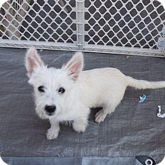 Westie, West Highland White Terrier/Terrier (Unknown Type, Medium) Mix Dog for adoption in Sacramento, California - Fenella