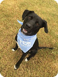 Labrador Retriever Mix Dog for adoption in Knoxville, Tennessee - Bo