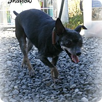 Adopt A Pet :: Shadow - Eden, NC