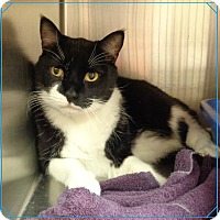 Domestic Shorthair Cat for adoption in Marietta, Georgia - TOM SEE ALSO ELVIS