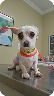 Chihuahua Mix Dog for adoption in LAKEWOOD, California - Faith