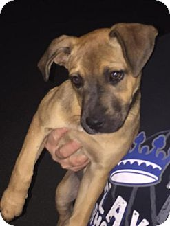 Boxer Dog for adoption in Del Rio, Texas - Gertrude