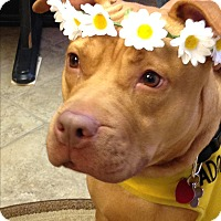 Pit Bull Terrier/Shar Pei Mix Dog for adoption in Island Park, New York - Bella