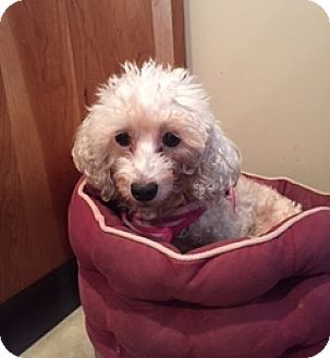 Maltese/Poodle (Miniature) Mix Dog for adoption in N. Babylon, New York - Trixie
