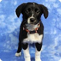Adopt A Pet :: DARLA - Westminster, CO