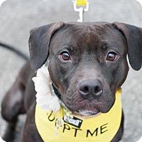 Adopt A Pet :: JEMMA - New York, NY