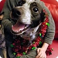 Adopt A Pet :: Zeus 2 - Detroit, MI