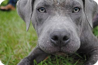American Pit Bull Terrier Mix Puppy for adoption in Orlando, Florida - Stella