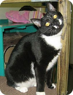 Domestic Shorthair Cat for adoption in Powell, Ohio - Allison