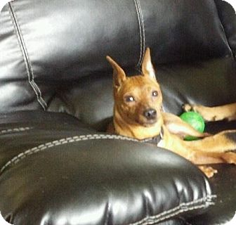 Miniature Pinscher Dog for adoption in Myersville, Maryland - Gabriel